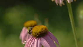 Butterfly and bumblebee on a Echinacea flower stock video
