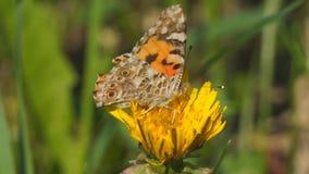 Butterfly burdock on a yellow dandelion flower. Vanessa cardui stock video footage