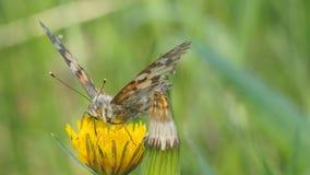 Butterfly burdock on a yellow dandelion flower. Vanessa cardui stock video