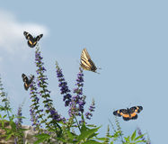 Butterfly Bush Attracting Royalty Free Stock Photo