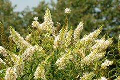 Butterfly bush, Buddleia davidii, full of white flower clusters. In summer garden royalty free stock photo