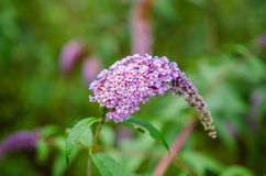 Butterfly bush Stock Photos