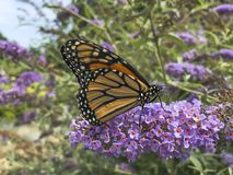 Monarch Butterfly Pollinating Purple Buddleja. The butterfly bush, or Buddleja, is a favorite shrub to be cultivated, as in this purple variety, because of it`s stock photography