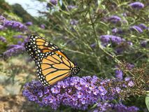 Monarch Butterfly Pollinating Butterfly Bush. The butterfly bush, or Buddleja, is a favorite shrub to be cultivated, as in this purple variety, because of it`s stock image
