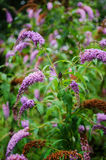 Butterfly bush flowers Royalty Free Stock Photo