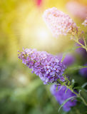 Butterfly Bush flowers in sunset Royalty Free Stock Photos