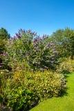 Butterfly bush, Violet butterfly bush, Summer lilac, Butterfly-bush, Orange eye (Buddleja davidii, Buddleia davidii), blooming in Royalty Free Stock Photography