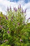 Butterfly bush, Violet butterfly bush, Summer lilac, Butterfly-bush, Orange eye (Buddleja davidii, Buddleia davidii), blooming in Royalty Free Stock Images