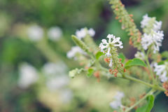 Butterfly bush white flower with blurred background Royalty Free Stock Photography