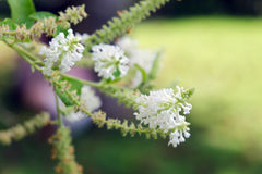Butterfly bush white flower with blurred background Stock Images