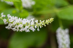 Butterfly Bush With White Flowers stock photography