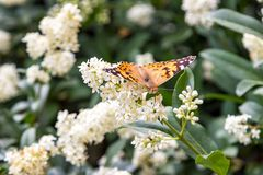 Butterfly on bush with white flowers. Summer royalty free stock photography