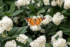 Butterfly on bush with white flowers. Summer stock images
