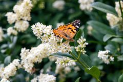 Butterfly on bush with white flowers. Summer stock photos