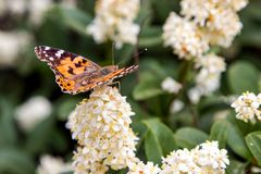 Butterfly on bush with white flowers. Summer stock photography