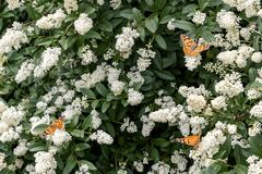 Three butterflies on bush with white flowers. Summer royalty free stock photos