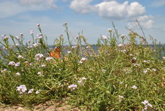 Butterfly on a bush of wild flowers on the sea shore Stock Photos