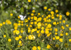 Butterfly on Buttercup Flower Royalty Free Stock Photos