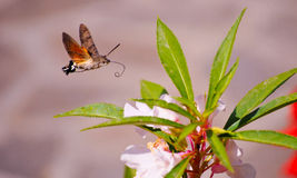 Butterfly flying near flower. Butterflies have appeared in art from 3500 years ago in Ancient Egypt.[87] In the ancient Mesoamerican city of Teotihuacan, the Stock Image