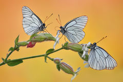 Butterfly. Butterflies have three bridesmaids branch plant of Rosa flowers flower yellow orange white horizontal nature butterfly Stock Photo