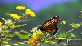 Butterfly, Butterflies, Insects, Flowers Stock Image