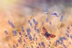 Butterfly - butterflies in lavender garden - beautiful nature. Butterfly - butterflies in lavender garden lit by sun rays sunlight Stock Photo