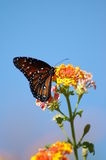 Butterfly on Butterfly bush Stock Photography