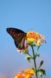 Butterfly on Butterfly bush. Blue sky background Stock Photography