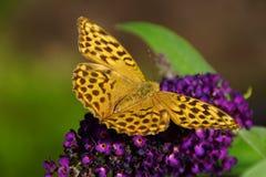 Butterfly on a butterfly bush. Orange butterfly feeding on a purple flower stock photo