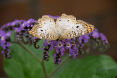 Butterfly on Butterfly Bush Stock Photos