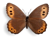Butterfly. Insect  wings entomology fragility animal isolated royalty free stock image