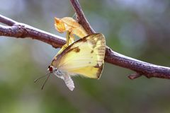 Butterfly. Perched on a pupa royalty free stock image