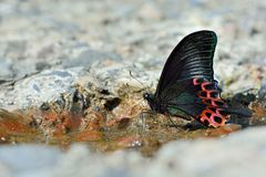 Butterfly. From the Taiwan Papilio hoppo Bicyclic emerald green phoenix  in water royalty free stock photography