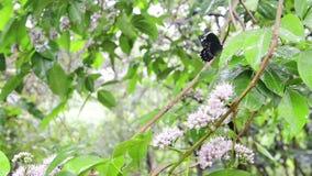 Butterfly on Butterfly Tree stock video footage