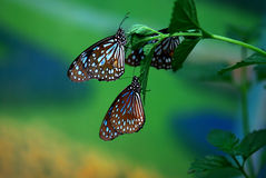 Butterfly. S stay on a plant Royalty Free Stock Photo