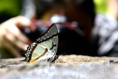 Butterfly. Butterfy in thailand coloseup macro Royalty Free Stock Photography