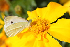 Butterfly cabagge. On a summer flower stock photos