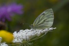 Butterfly cabbage. Drenthe the netherlands Royalty Free Stock Images
