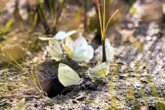 Butterfly cabbage butterfly Stock Image