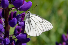 Butterfly cabbage on a beautiful violet flower gathers a tender sweet nectar Stock Images