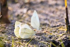 Butterfly cabbage butterfly Royalty Free Stock Image