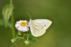 Butterfly. Cabbage butterfly on a dasy flower stock image