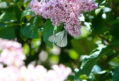 Butterfly cabbage sits on the flowers of lilac. Flying insect of the Lepidoptera in the wild. Horizontal blurred image. Selective focus Stock Photos