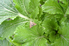 Butterfly on cabbage. The butterfly sits on a leaf of the Beijing cabbage Stock Photography