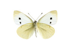 Butterfly - Cabbage White Stock Photo