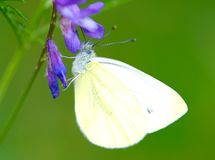 Butterfly, Cabbage White Stock Image