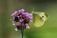 Cabbage White Stock Images