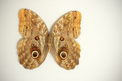 Butterfly (Caligo beltrao) Royalty Free Stock Images