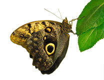 Butterfly (Caligo memnon). royalty free stock photos