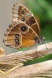Butterfly Caligo memnon Royalty Free Stock Image